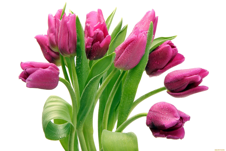 всех бонусах фото цветы тюльпаны на прозрачном фоне объединяем десятки